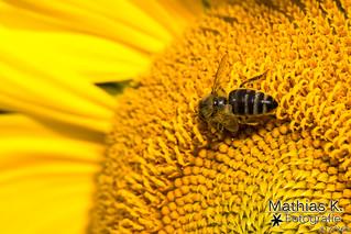 Bienchen | Projekt 365 | Tag 217