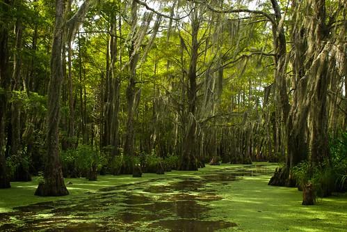 landscape nature green pretty beautiful swamp trees forest louisiana america travel river bayou spanishmoss