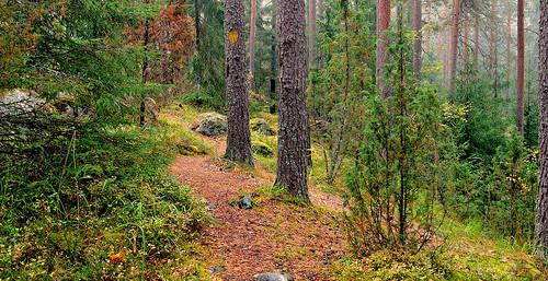 forest metsä metsämaisema mäntymetsä pine views trees d3200 nikond3200 europe finland autumn wood mist fog landscape