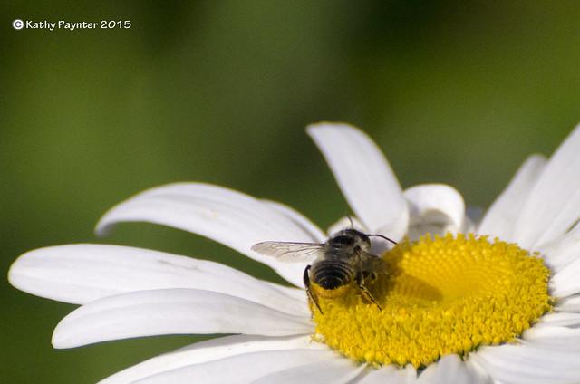 Daisy Bee 6150