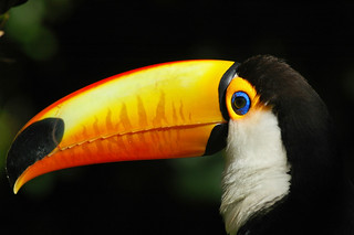 Toco Toucan (Ramphastos toco) | by Brett Backhouse