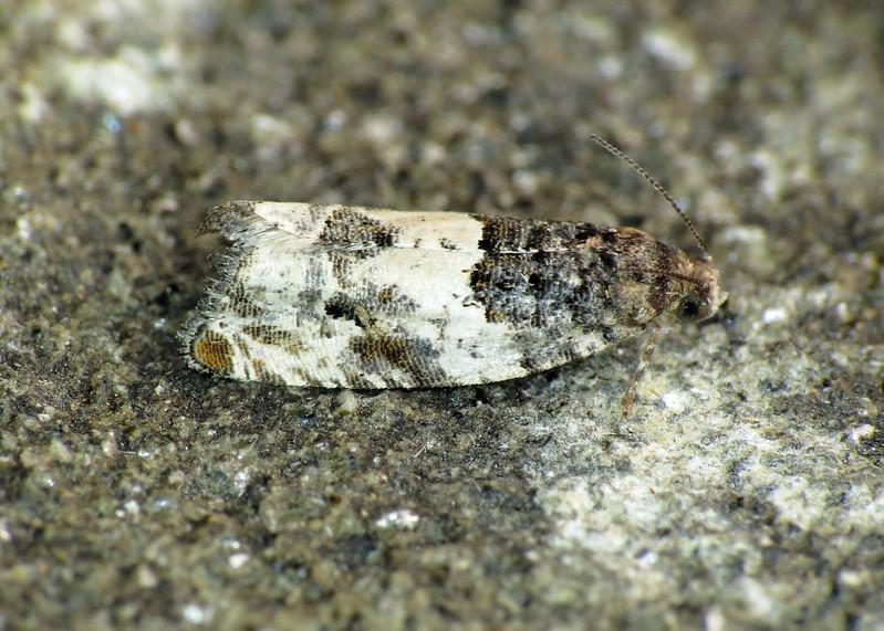 1168 Gypsonoma sociana