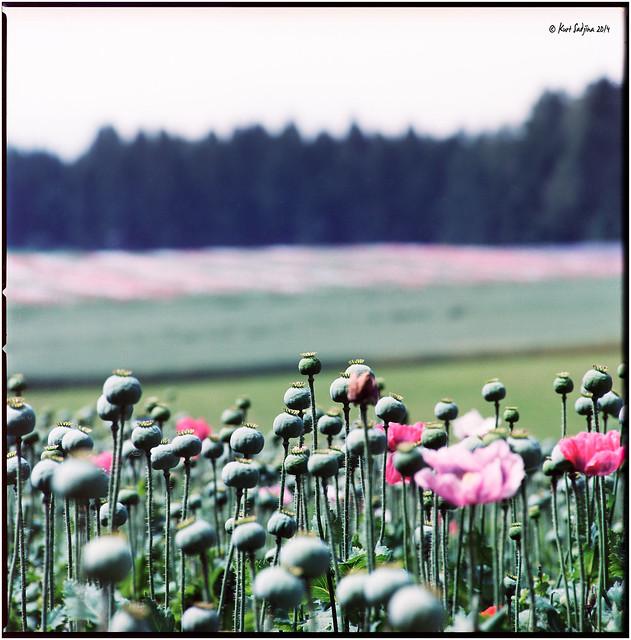 Waldviertler Mohnblüte_Hasselblad
