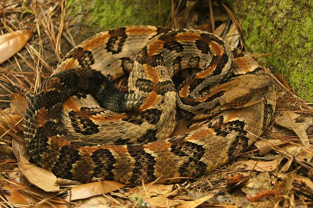 Canebrake - C. horridus