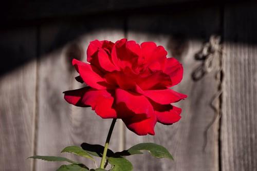 california flower nature rose us redrose sonomacounty winecountry rohnertpark flowerphotography magi48 stevenpmoreno stevenmorenospix2014