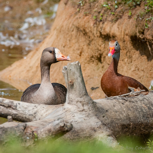 georgia goose rare dahlonega rarity greaterwhitefrontedgoose whistlingduck blackbellied ebird lakezwerner