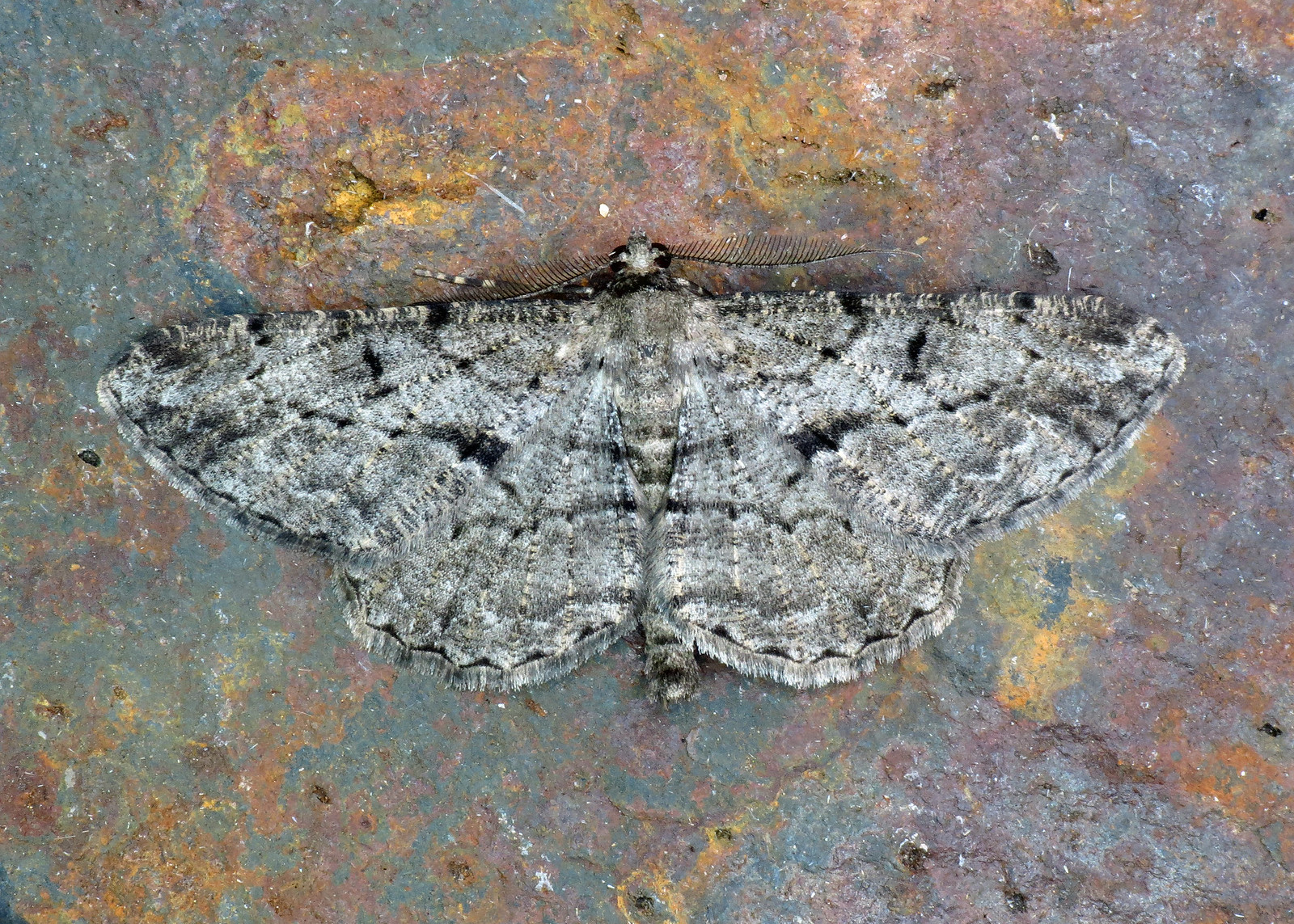 1937 Willow Beauty - Peribatodes rhomboidaria