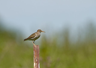 Spotted Sandpiper (Actitis macularius) | by humanaaut
