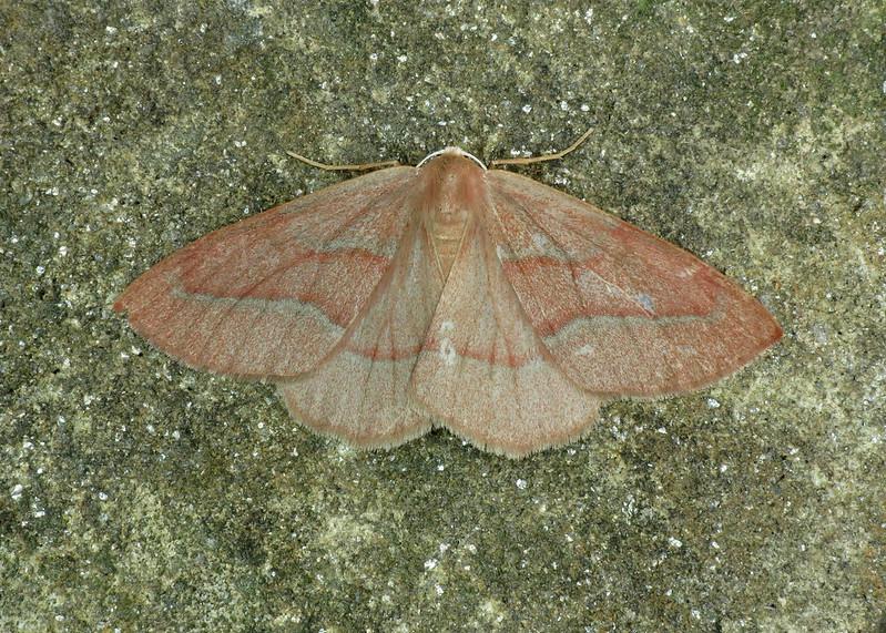 1962 Barred Red - Hylaea fasciaria