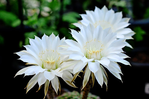 cactus white plant flower macro nature beautiful japan sunrise dawn whiteflower photo nikon midsummer shot picture august photograph yokohama cactaceae kanagawa daybreak 2014 aoba echinopsis aobaward 短毛丸 flowerphoto d5100 タンゲマル afsnikkor50mmf18g obacho eeyriesii