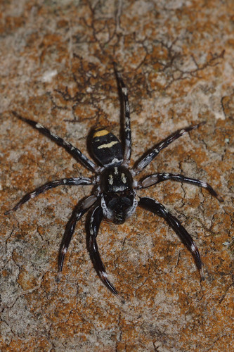 spider jump arachnid eucalyptus hastings gypsy astia salticidae wauchope byabarra hariola booyong