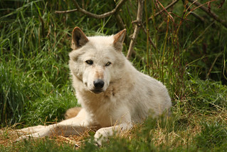 Timber Wolf | by dinners85