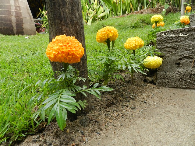 Feliz quinta flower