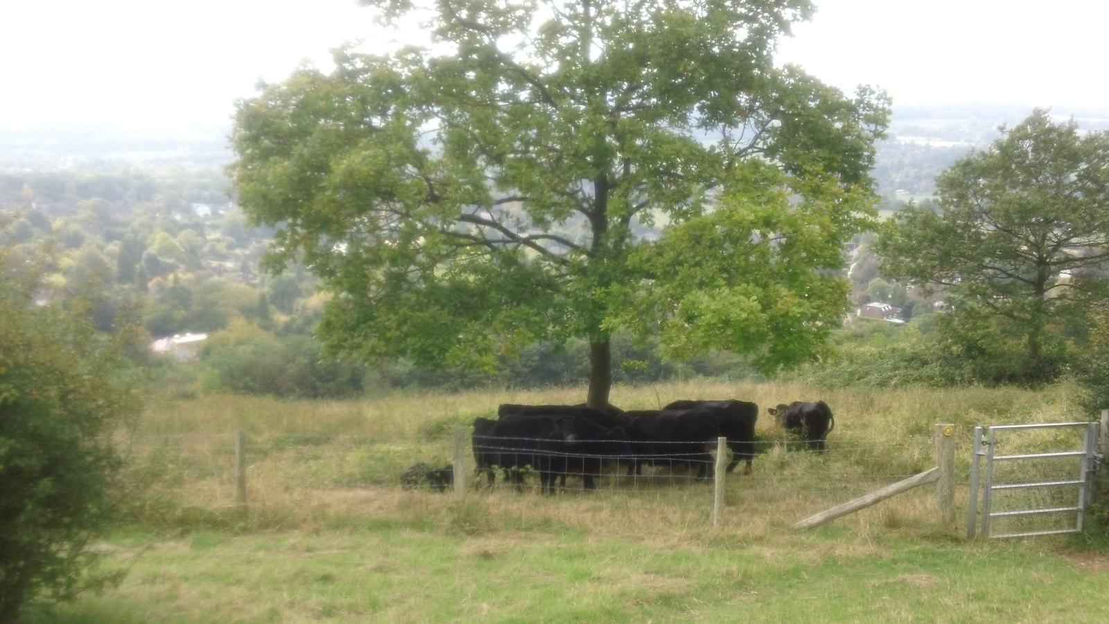 Cows above Otford