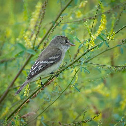 georgia flycatcher blairsville empidonax tyrannidae willowflycatcher tyrantflycatcher traillsflycatcher traillii alnorum
