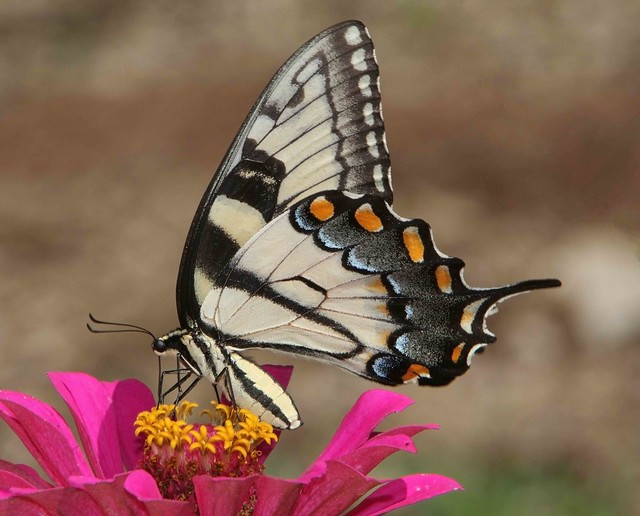 Tiger Swallowtail, female (Papilio glaucus)