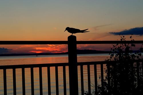 sunset auringonlasku suomi sky taivas järvimaisema silhouette nikon views waterscape lake water bird lintu sterna clouds colors colorful landscape scape järvi ilta evening d3200 nikond3200 europe