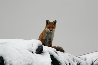 Red Fox (Vulpes vulpes) in the snow, by Peter Alfrey | by Beddington Farmlands