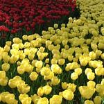 Tulip チューリップ 赤黄