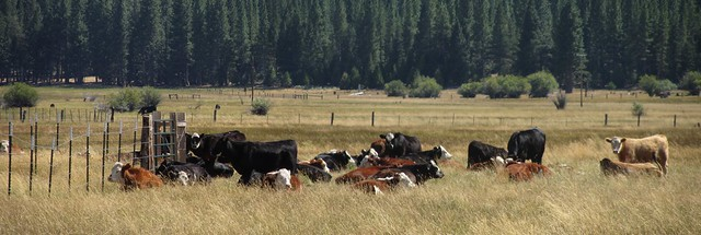 IMG_4048_2 Sierraville cattle for cez ICE rm stitch99