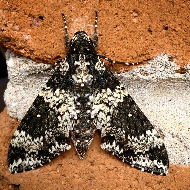 Rustic Sphinx moth up close