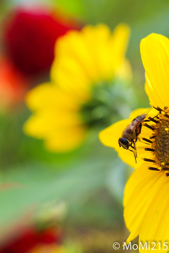 Biene auf einer Blume | by MoM Fotografie