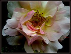 Discreet Rose (EXPLORE)