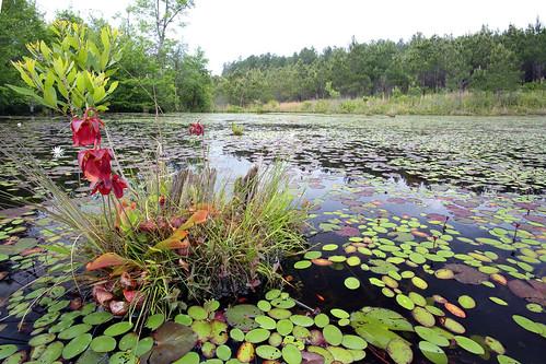 Sarracenia psittacina var. okefenokeensis, Parrot Pitcher Plant in habitat, Marion County, Georgia | by Brad Wilson, DVM