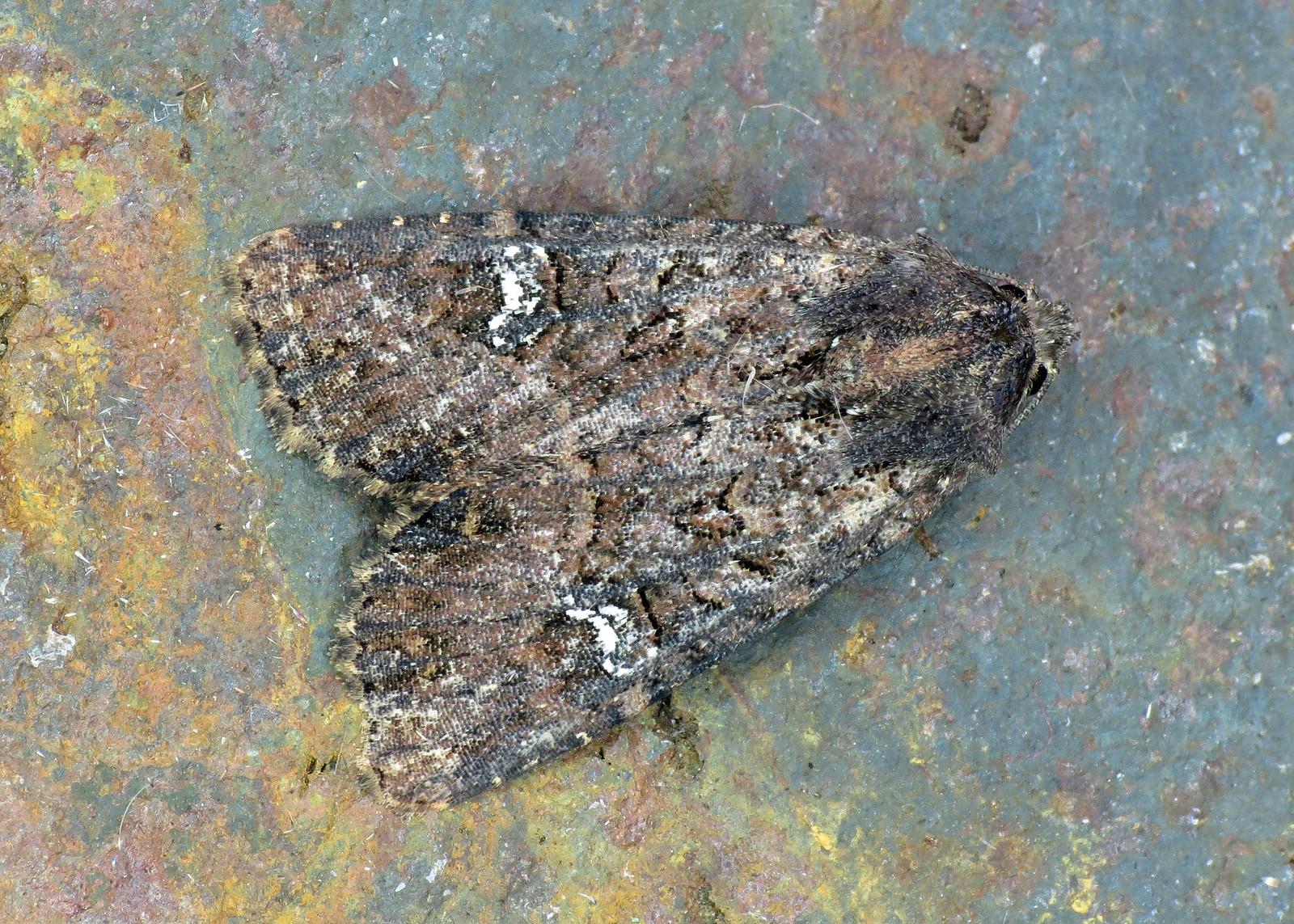 2343x Common Rustic agg - Mesapamea sp.