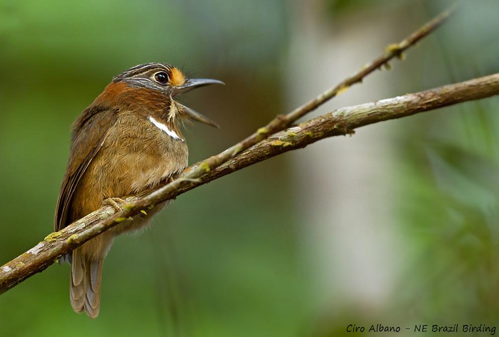 Rufous-necked Puffbird_Malacoptila rufa_Barbudo-de-pescoço-ferrugem