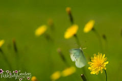 Cabbage White Butterfly-6990