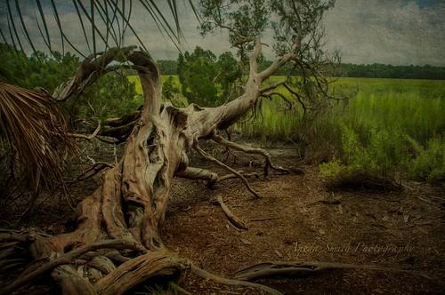 tree georgia landscape nikon marsh savannah fallentree anedasmith
