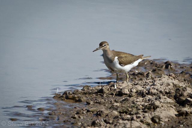 Common Sandpiper 001