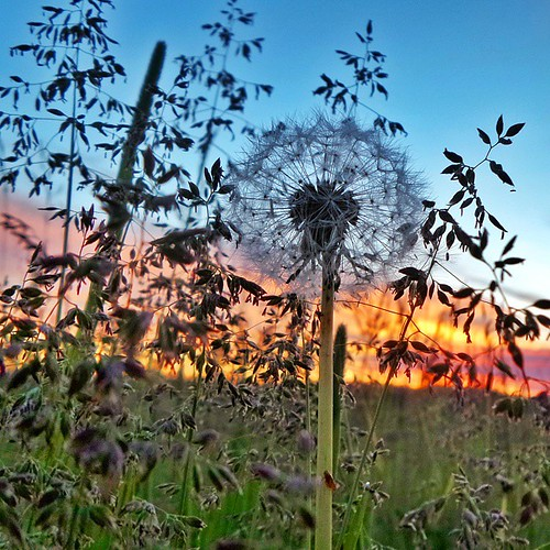 sunset field sunrise suomi finland square countryside finnland dandelion squareformat finlandia countrylife フィンランド finlande finlândia finnország finlanda finlàndia финляндия finnlando iphoneography instagramapp uploaded:by=instagram