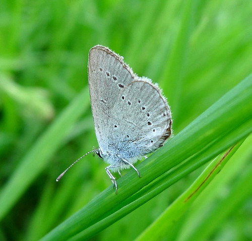 Little Blue. Cupido minimus. u/s | by gailhampshire