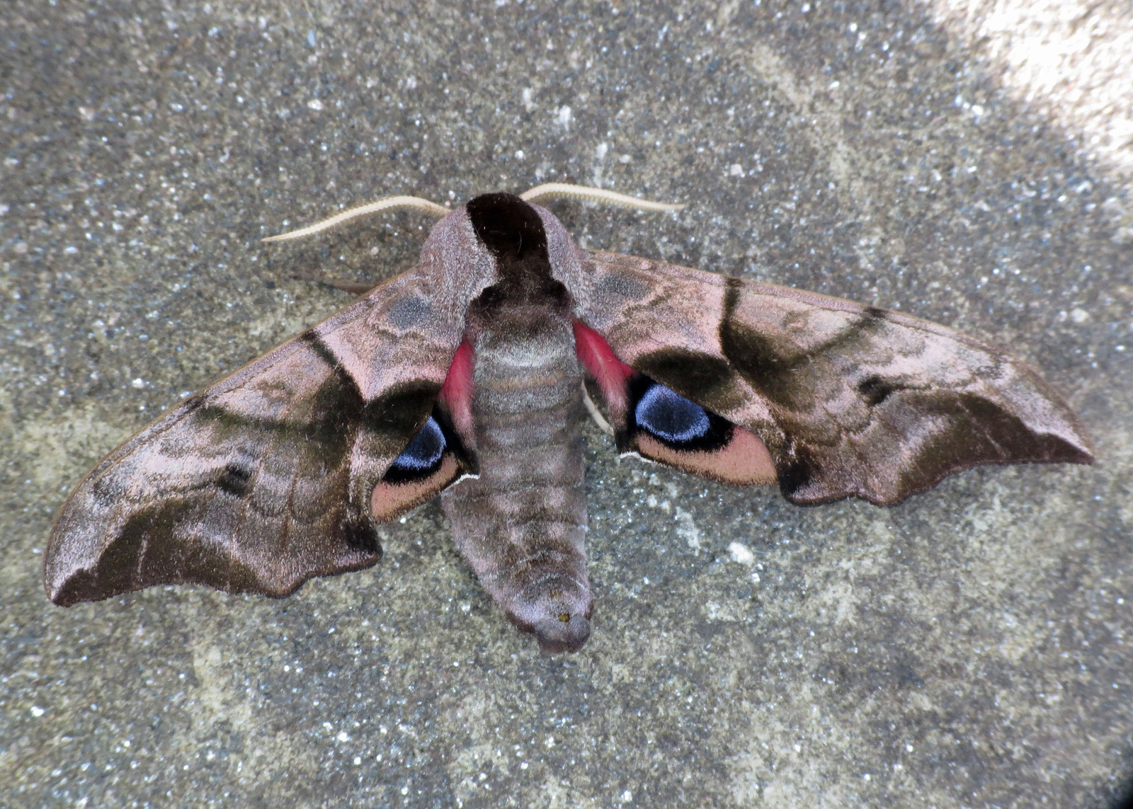 1980 Eyed Hawk-moth - Smerinthus ocellata