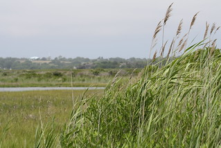 Phragmites | by U. S. Fish and Wildlife Service - Northeast Region