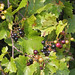 Muscadine - Photo (c) Mary Keim, some rights reserved (CC BY-NC-SA)