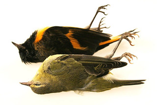 American Redstart and Tennessee Warbler | by Laura Erickson