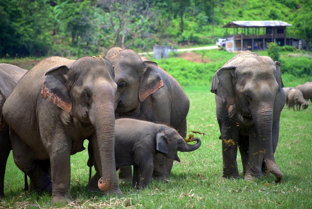 Thailand - Chiang Mai - Elephants (last part)   Michael   Flickr