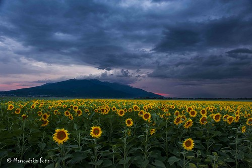 blue summer sky plant flower green nature beautiful beauty field yellow rural landscape outside photo spring scenery energy colorful natural bright outdoor earth farm vibrant background country farming scenic meadow culture vivid overcast clear growth crop plantation sunflower land agriculture vast