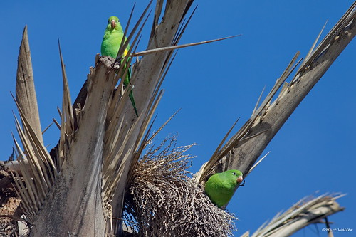 Yellow-chevroned Parakeets, in palm tree, West L.A. CA IMG_2484 | by Hart Walter