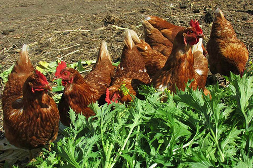 Free Range Chickens at Hope Hill Farm, Saltspring Island, Gulf Islands, British Columbia