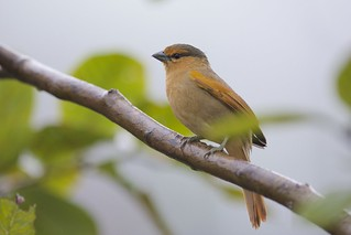 Brown Tanager (Orchesticus abeillei) | by Daniel J. Field