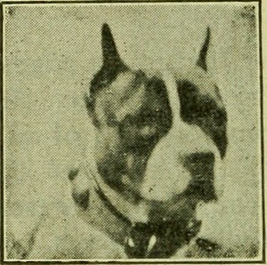 Image From Page 77 Of The Boston Terrier Its History Po Flickr