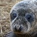 Seal Pup - Donna Nook by D.R.Williams