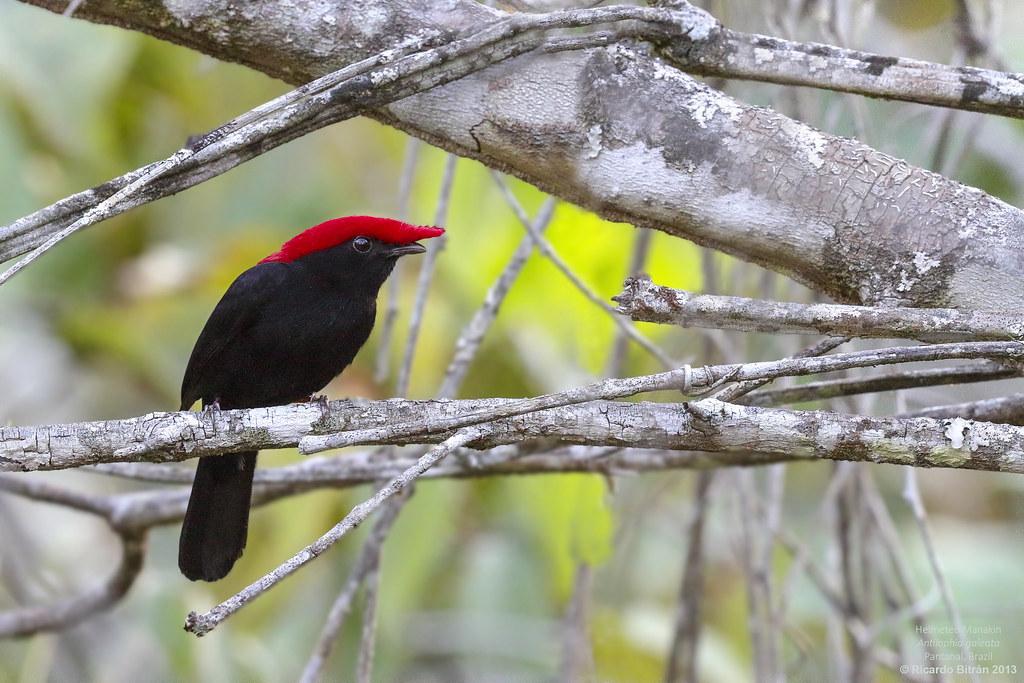 Helmeted Manakin (Antilophia galeata) Pantanal, Brazil 2013