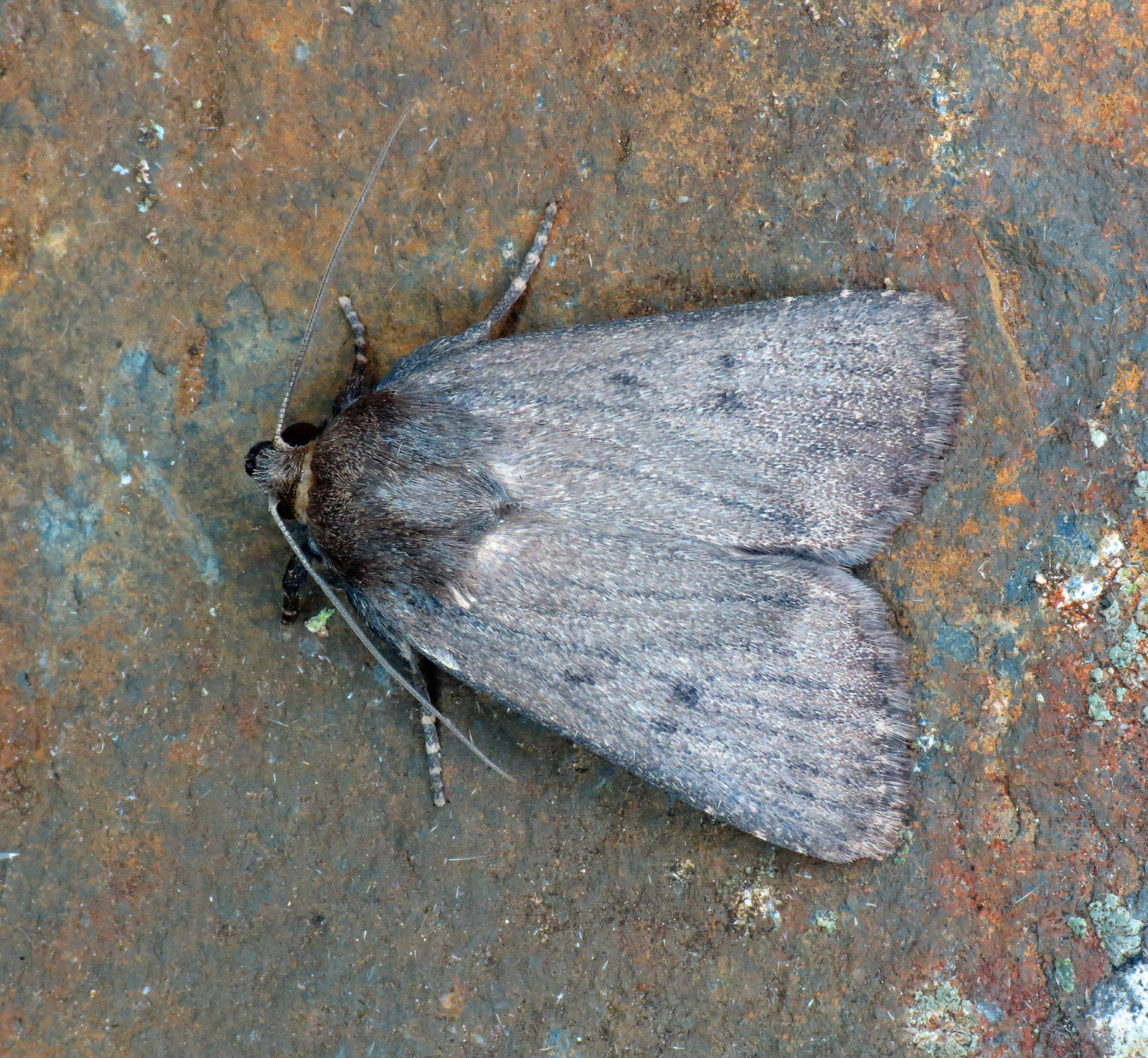 2299 Mouse Moth - Amphipyra tragopoginis