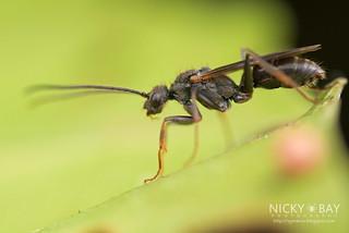 Winged Ant (Odontoponera sp.) - DSC_1948