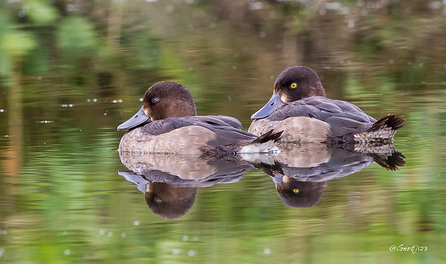 Duck-reflections